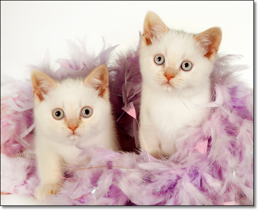 A photograph of Kittens with a feather boa
