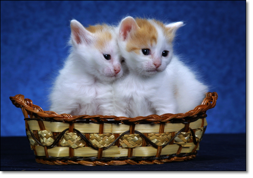 A photograph of           : Turkish Van