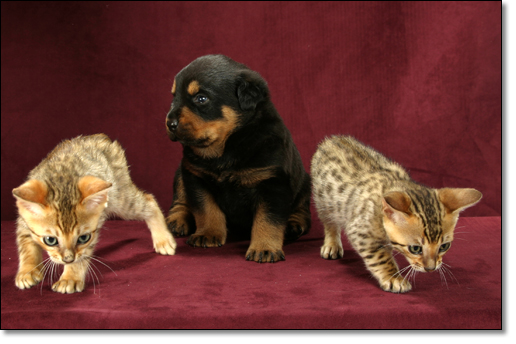 A photograph of           : Two bengal kittens and a Rottweiler puppy