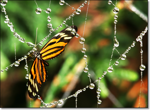 A photograph of Morning Dew          : A butterfly and a morning dew          : Tithorea harmonia
