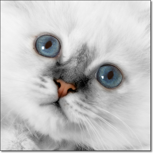 A photograph of White fur, Blue eyes and a Pink nose